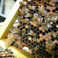 A swarm cell (bottom left) raised by the hive.